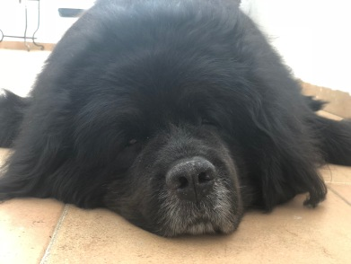 Urso the Newfoundland aka Carpet (has been known to block the door and not let you back in)